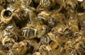 tote Bienen